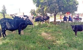 Stolen cattle 350x210
