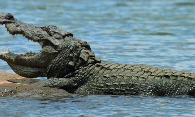 Foreigners implicated in hunt for crocodile private parts