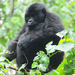 Another gorilla gives birth in Bwindi