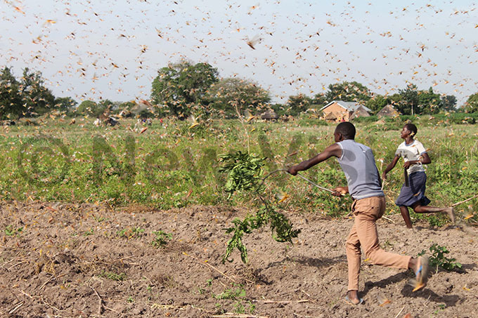 ocals of orio village in ngino subcounty chasing locusts in their gardens