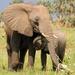 Zimbabwe sells 100 elephants to China, Dubai