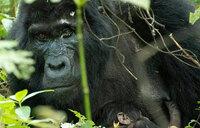 Two baby gorillas born in one week