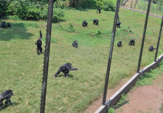 here are currently 50 chimps at the sanctuary