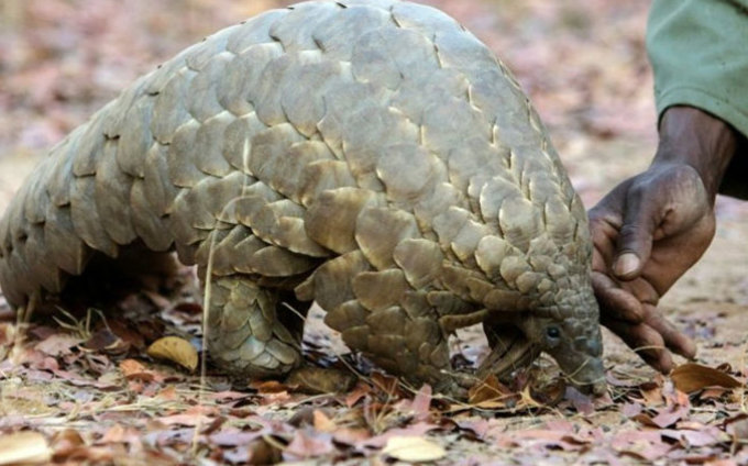 angolins remain the most trafficked mammal in the world poached for scales and meat and over one million have been killed and traded in the past 15 years ile photo