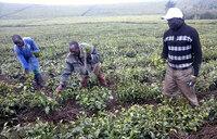 Bushenyi hailstorm ravages acres of food crops