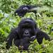 Gorillas stand in way of Uganda, DR Congo oil