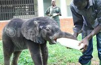 Africa risks losing 20 percent of elephants in 10 years