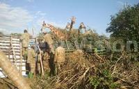 Saving the graceful giraffe from extinction