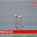 What attracts flamingos to Uganda?
