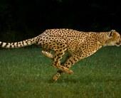 cheetah100697047orig
