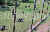 Holiday with Chimpanzees at Ngamba Island