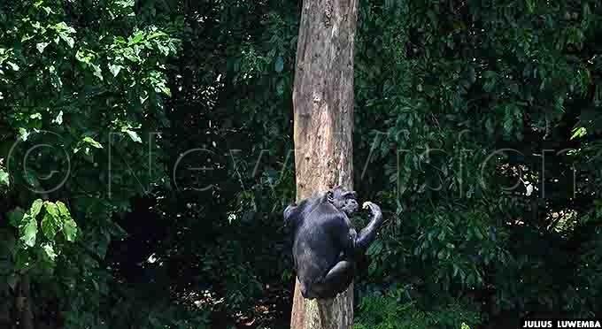chimpanzee climbing a tall tree at the sanctuary