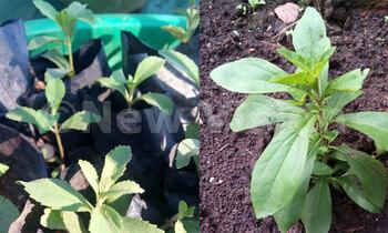 Stevia 350x210