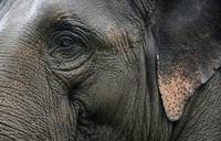 Asia's wild-captured worker elephants die young