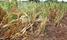 Crop-destroying Armyworm 'major threat' to world farming: NGO