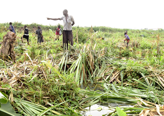 aul eseba shows his cut sugarcane plantations hoto by aria amala