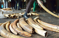 Three arrested in West Nile with 100kg of ivory