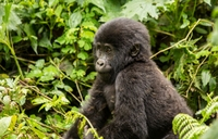 The experience of tracking gorillas in Bwindi Forest
